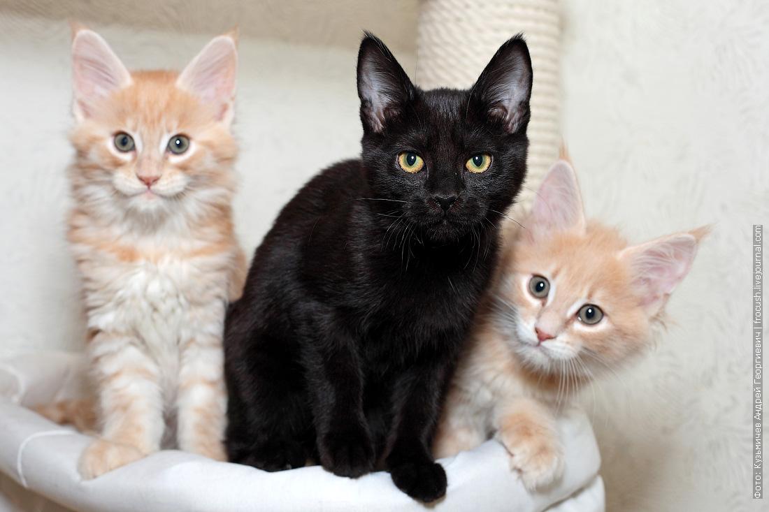 бомбейска кошка и котята мейн-кун