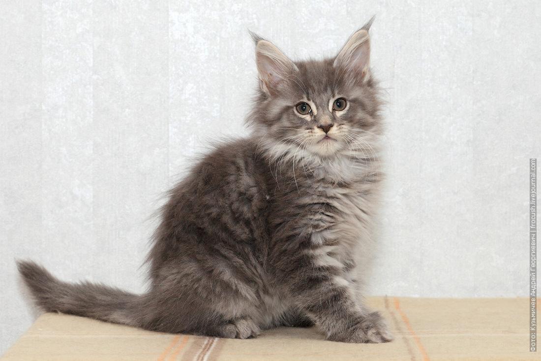фотография котенок мейн-кун