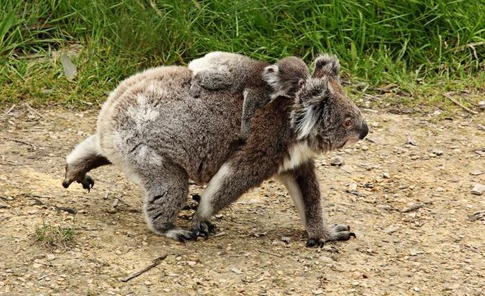 Президенты и премьер министры с коалами во время встречи G 20 в Австралии