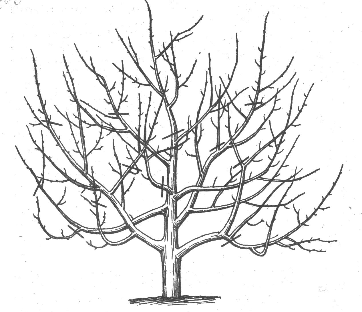 формирование кроны плодовых деревьев