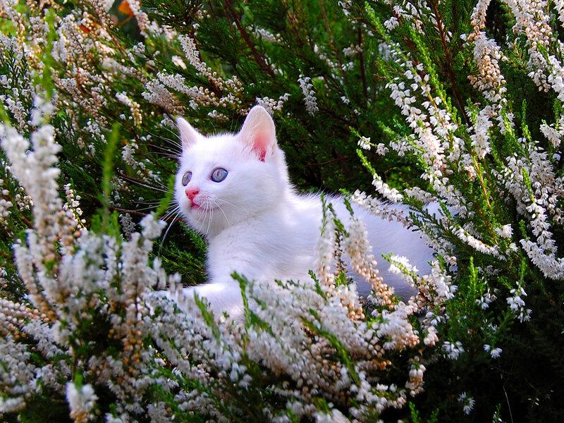 Вересковый кот