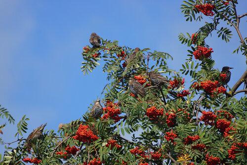 Обыкновенный скворец (Sturnus vulgaris) Автор фото: Привалова Марина