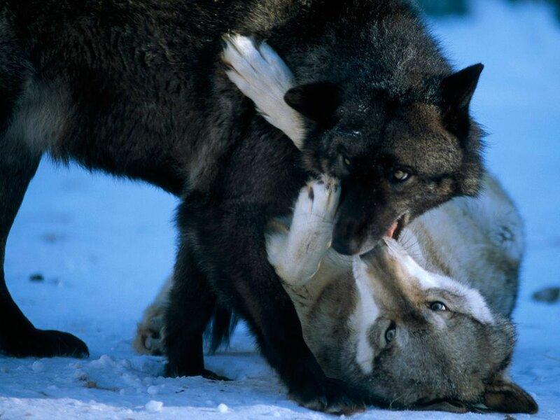 В новый год лесной волчонок серый ласковый щенок