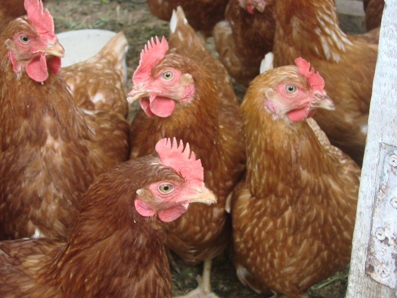 выбрать курицу несушку