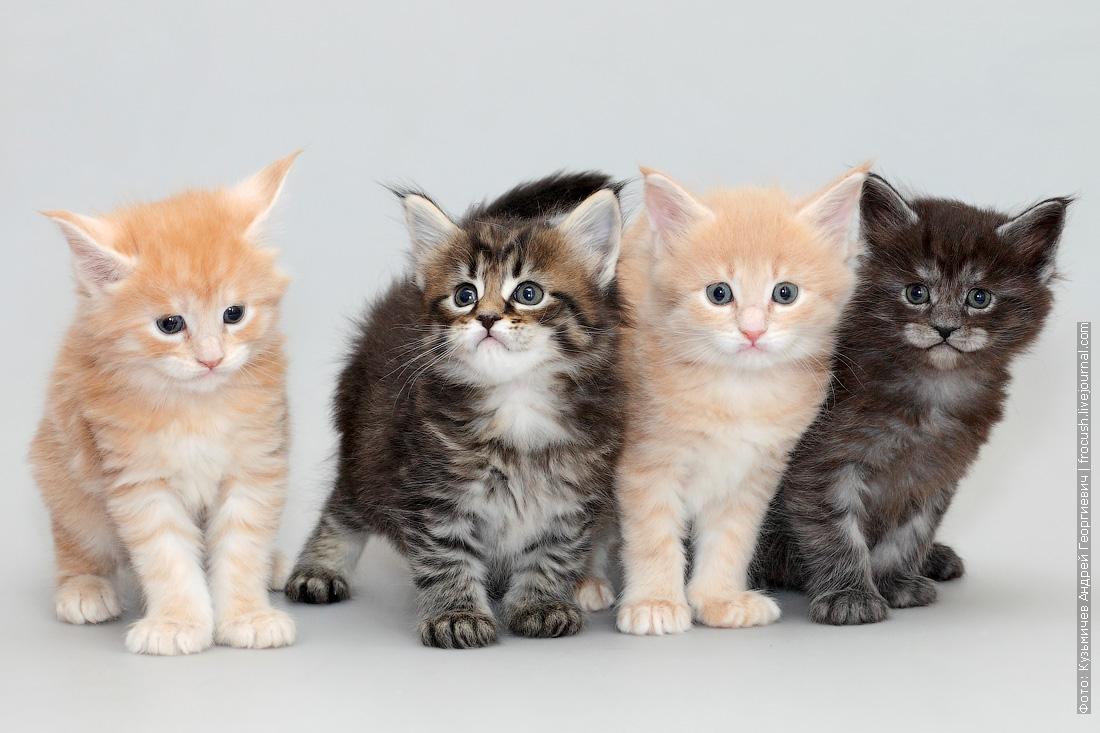 котята мейн-кун 1 месяц фото