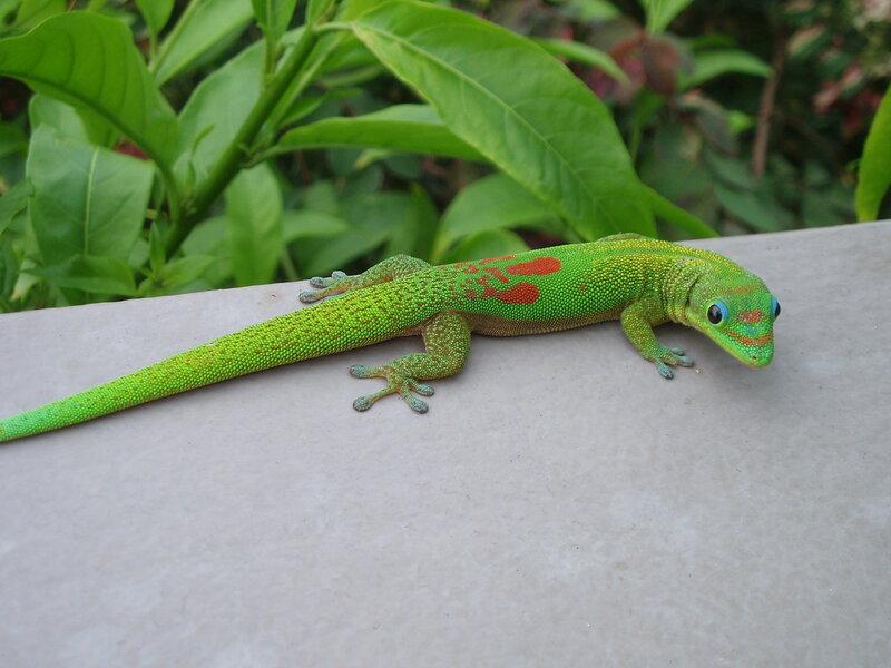мадагаскарский геккон фельзума