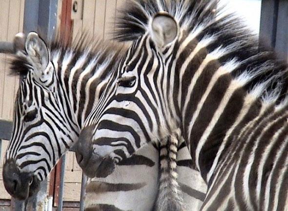 В гродненском зоопарке посетители отравили зебру