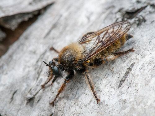Альбом: Мир под ногами Двукрылые - Diptera Asilidae - Ктыри Автор фото: Владимир Брюхов