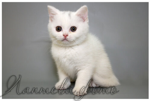 Лаптева-фото - Фотографии животных для питомников и заводчиков - Страница 4 0_155e67_4c247613_L