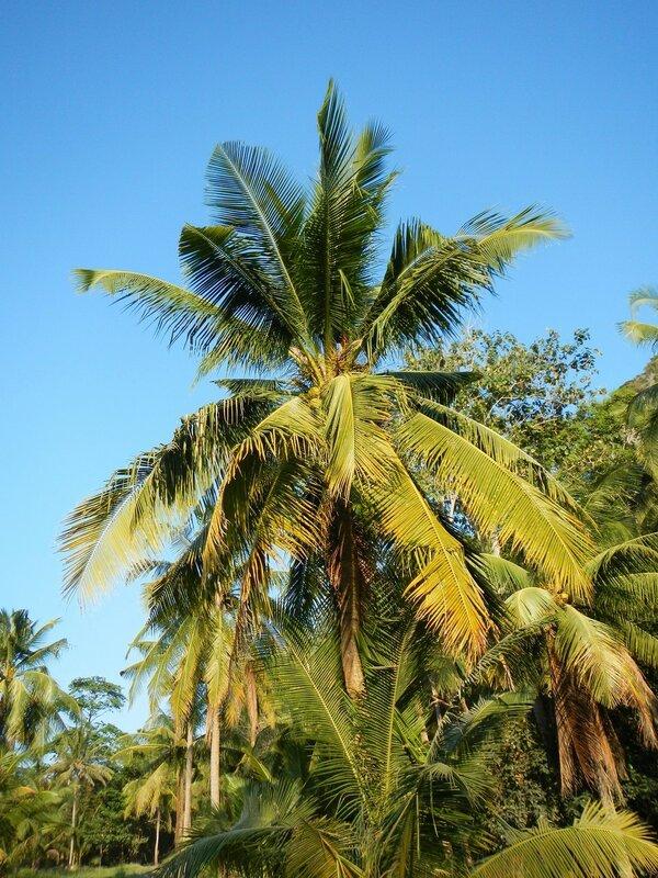 Кокосовая пальма по дороге с пляжа Ao Nang