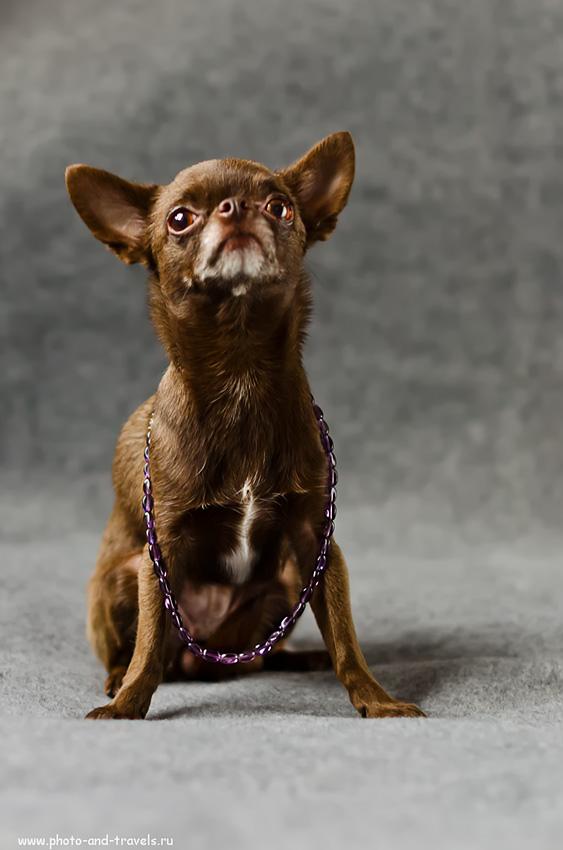 Фотография 10. Задавака (настройки f 2.0; В=1/60; ISO-800). Фотоурок для начинающего фотографа по использованию зеркальной камеры для съемки собак в домашних условиях. Камера Nikon D5100 с объективом Nikon 50mm f/1.4G.