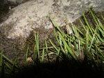 Имаго веснянки на траве
