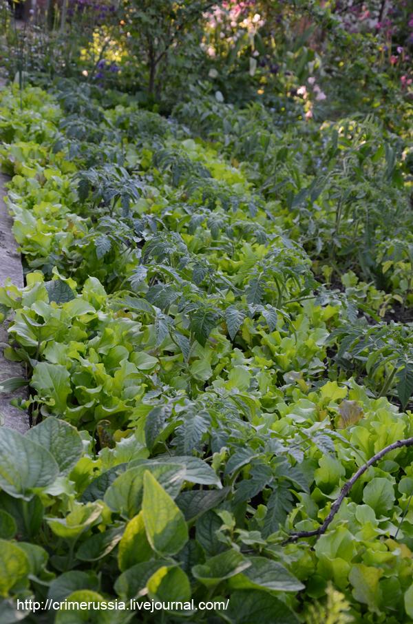 грядки овощи