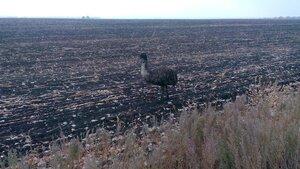 страус на полях луганщины станица луганская 2015 год jyrnalist фото алексея кашпоровского