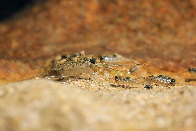 Увеличенное изображение черноморской морской блохи - мелкого рачка-бокоплава из отряда разноногих (Amphipoda) с пятнистым панцирем, большими черными глазами и двумя разветвленными хвостиками