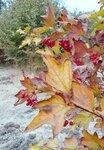 В саду у калины, октябрь