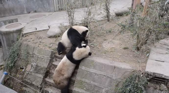 Большие панды устроили новогоднюю разборку