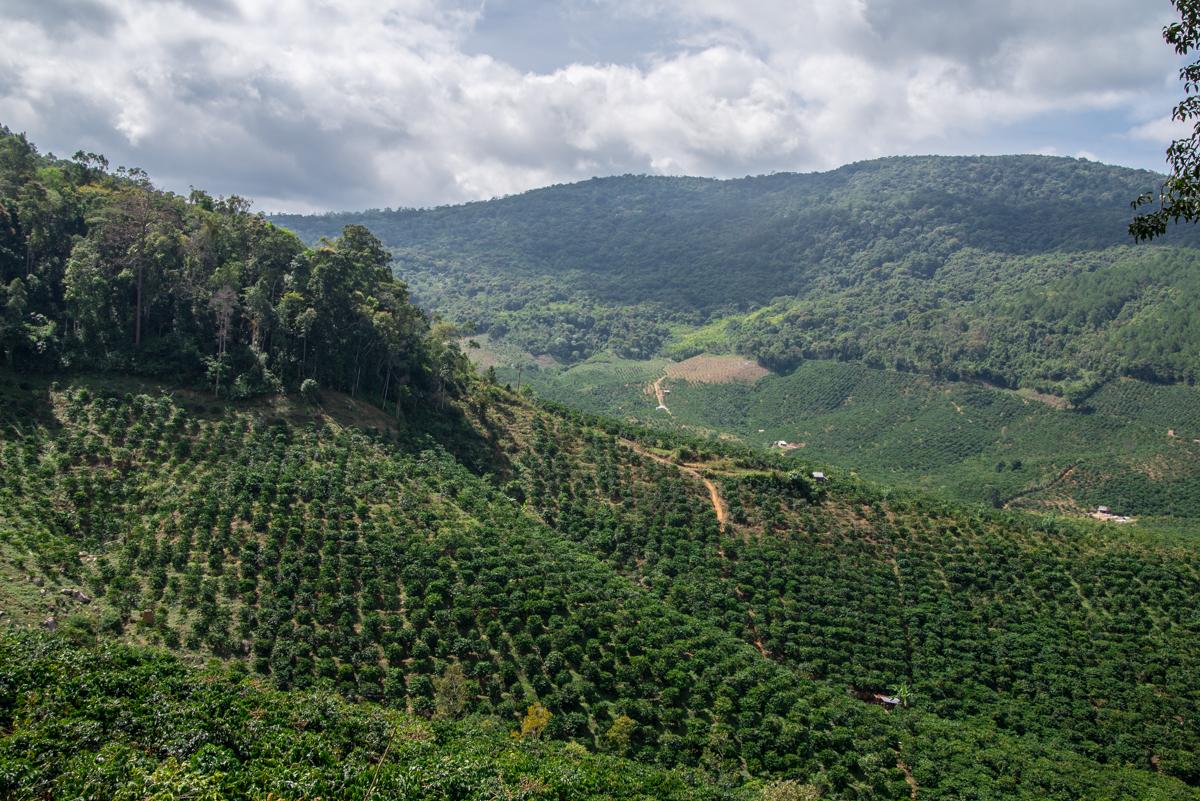 Как растет кофе в горах