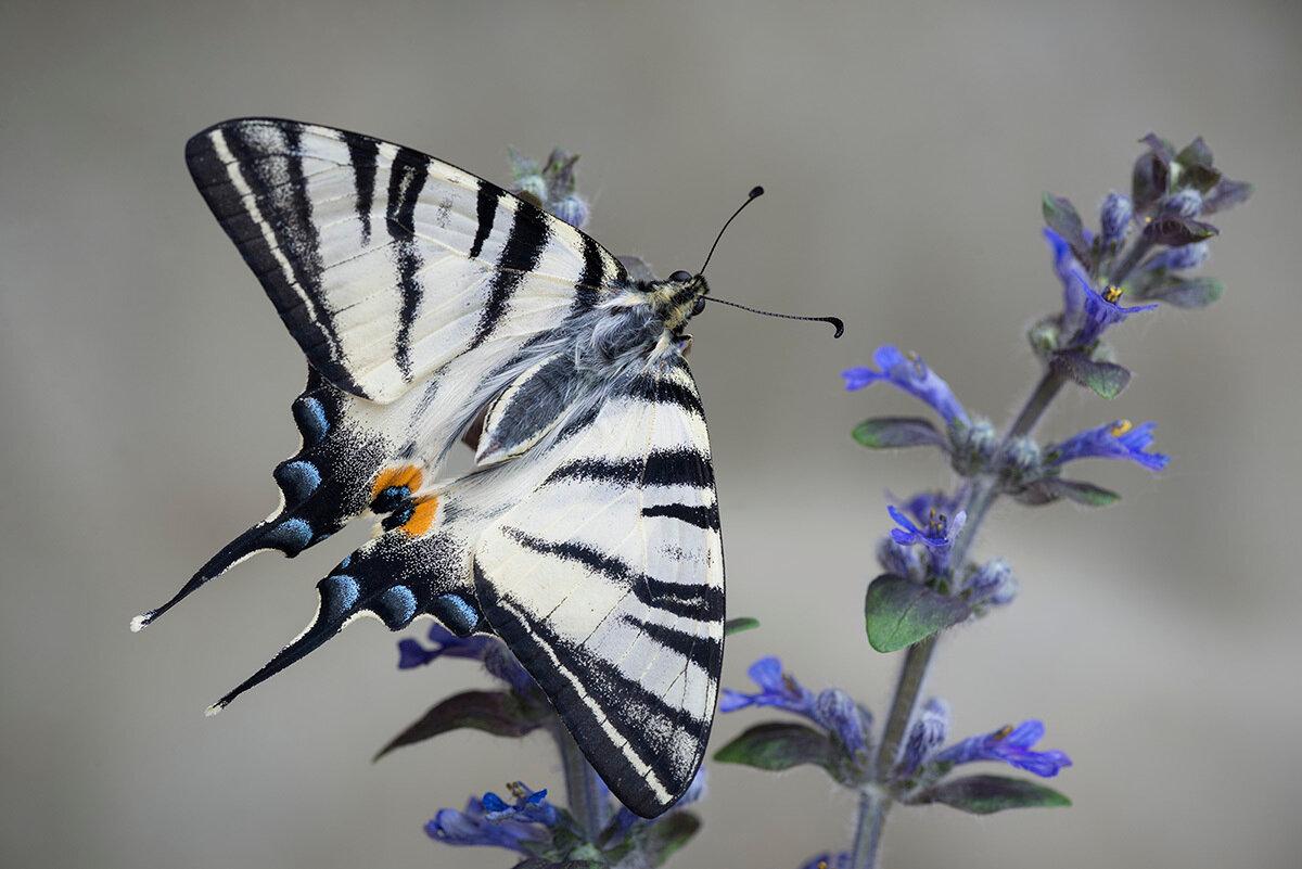 Подалирий (Iphiclides podalirius). Автор фото: Владимир Брюхов