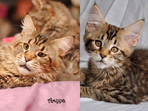 Выпускник кот мейн-кун Amour of MY GOLDEN DJINNY