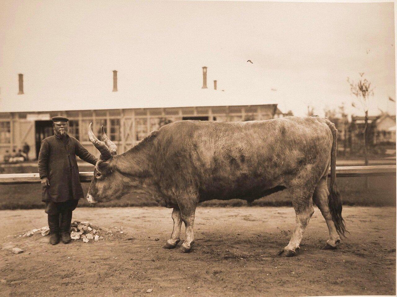 18.Вол Мурузый Киргизской породы, выращенный в имении Соловьёва