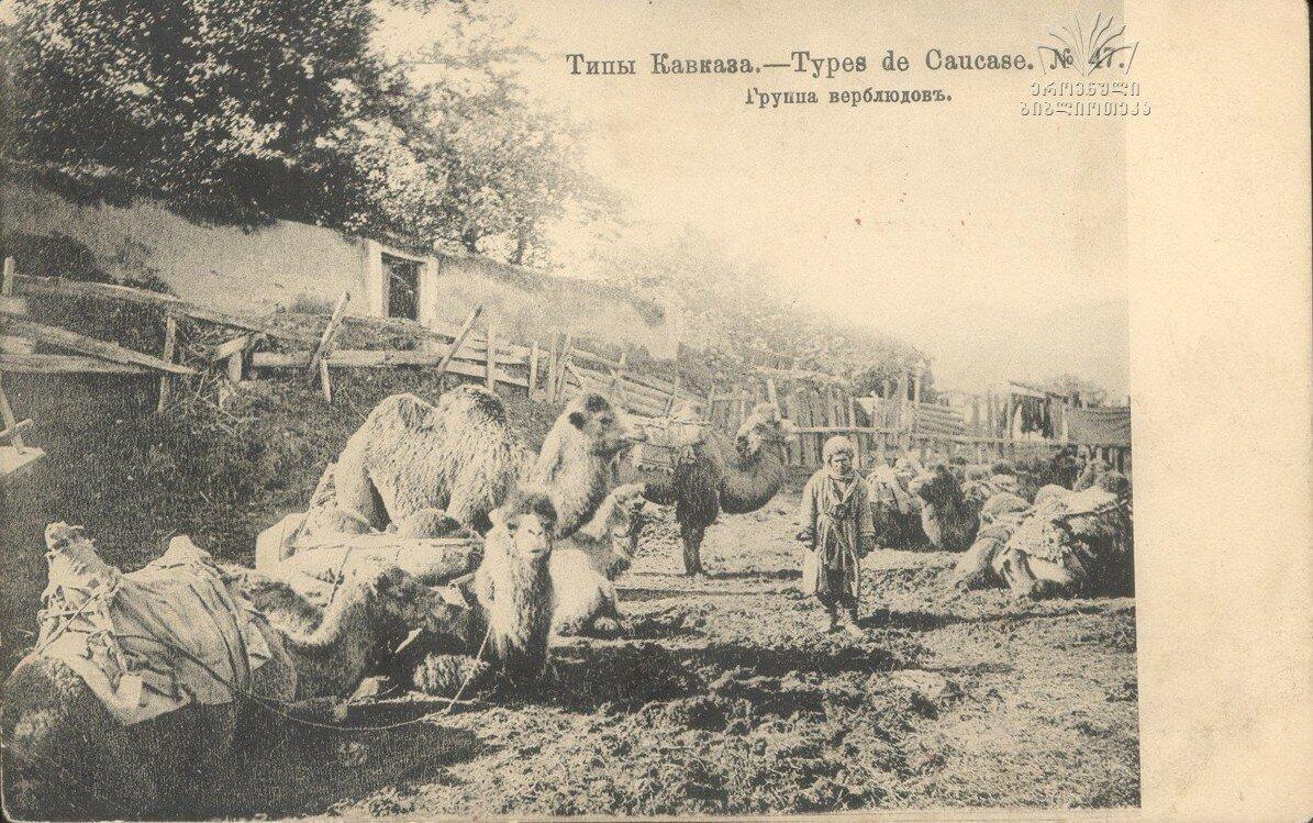 Группа верблюдов