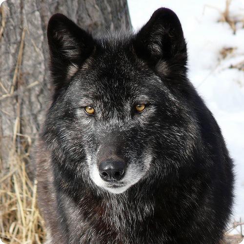 волки статусы