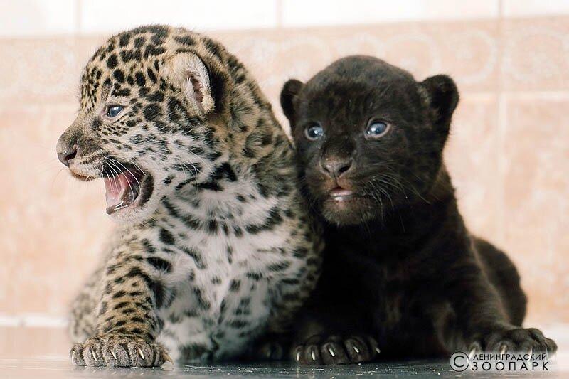 ягуары в Ленинградском зоопарке