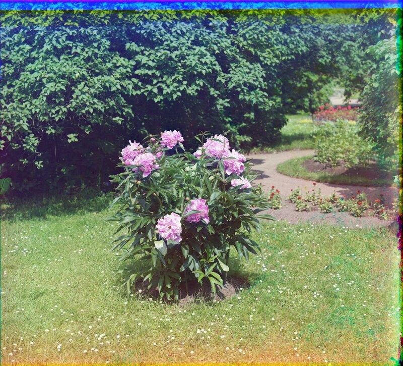 Gatchina piony 0174l.jpg