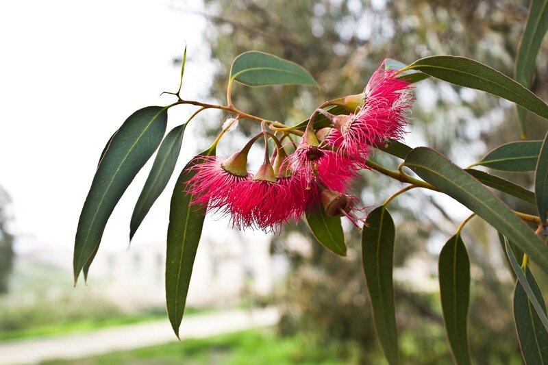цветущий эвкалипт на Кипре