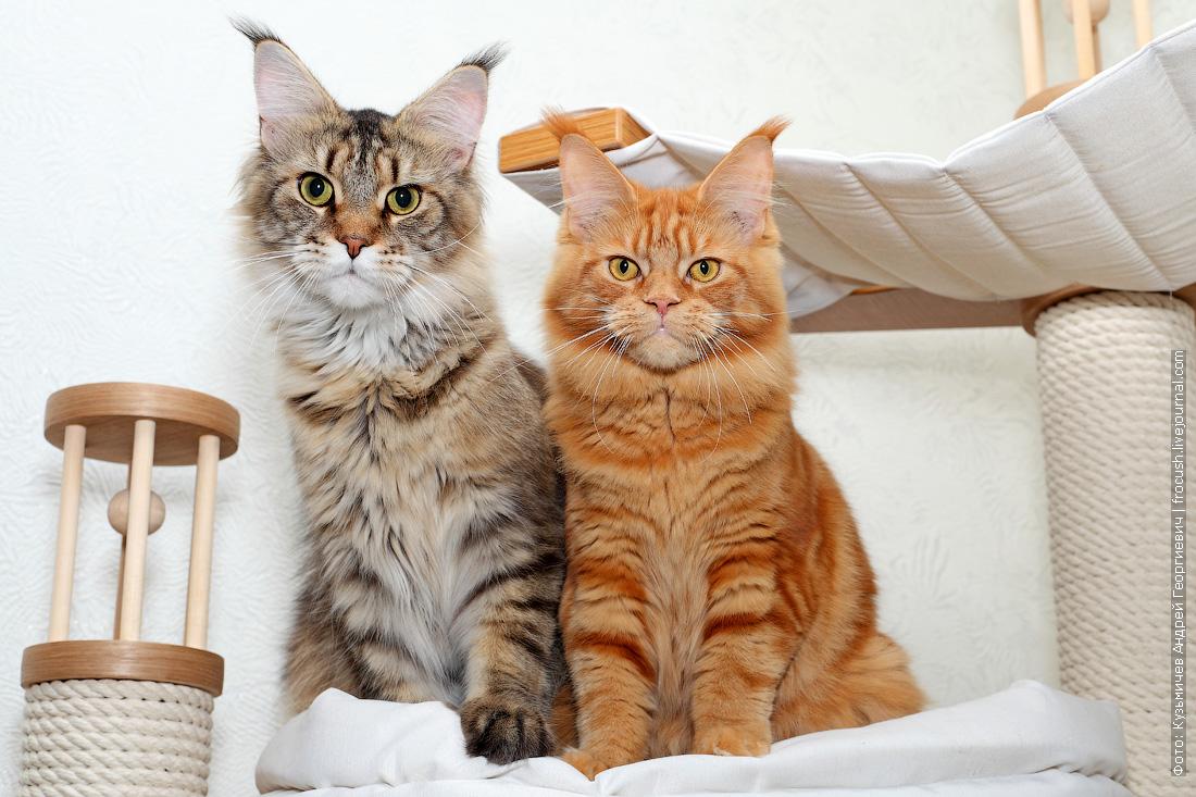 Мейн-кун кот и кошка
