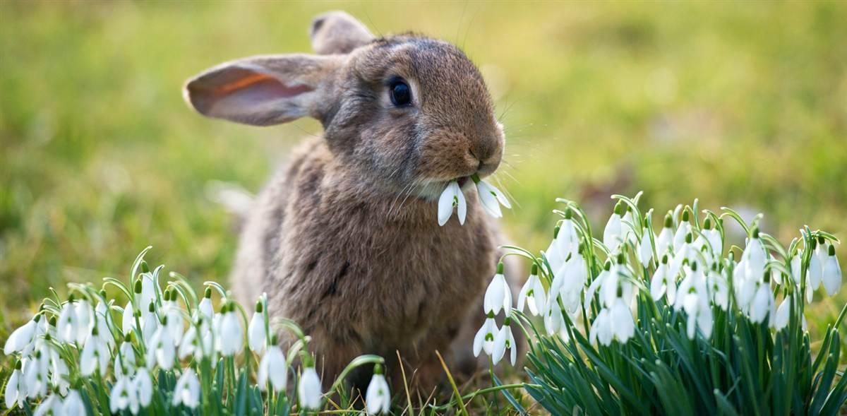 содержание мясных кроликов