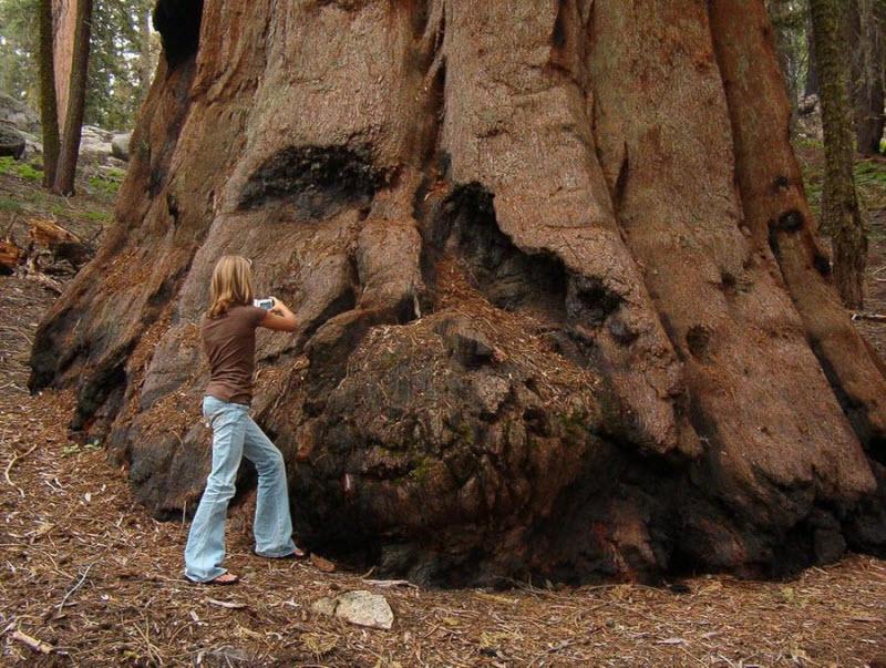 Самое большое дерево на нашей планете
