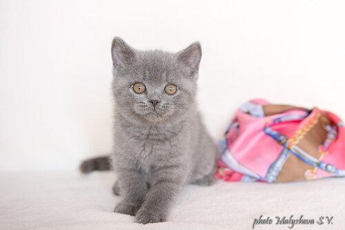 Belten`s Diamant (кот) BRIa 2 месяца