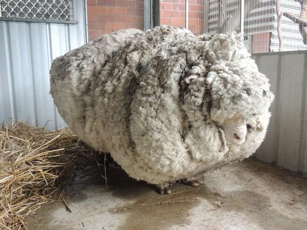 Пять лет без стрижки или как изменилась овца после работы стригаля (10 фото)
