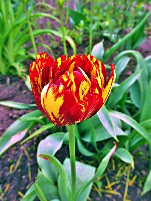 Пёстрый тюльпан
