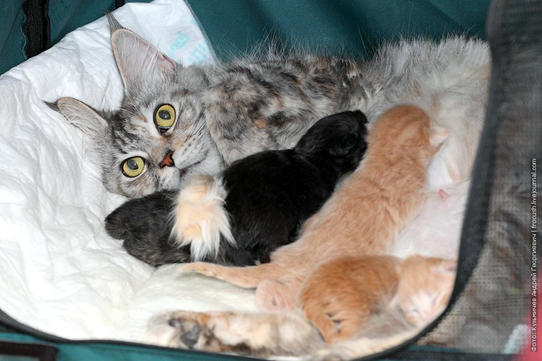 гнездо с новорожденными котятами Мейн-кун
