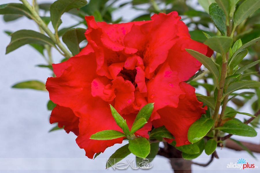 Я люблю все цветы, выпуск 145 | Аза́лия.