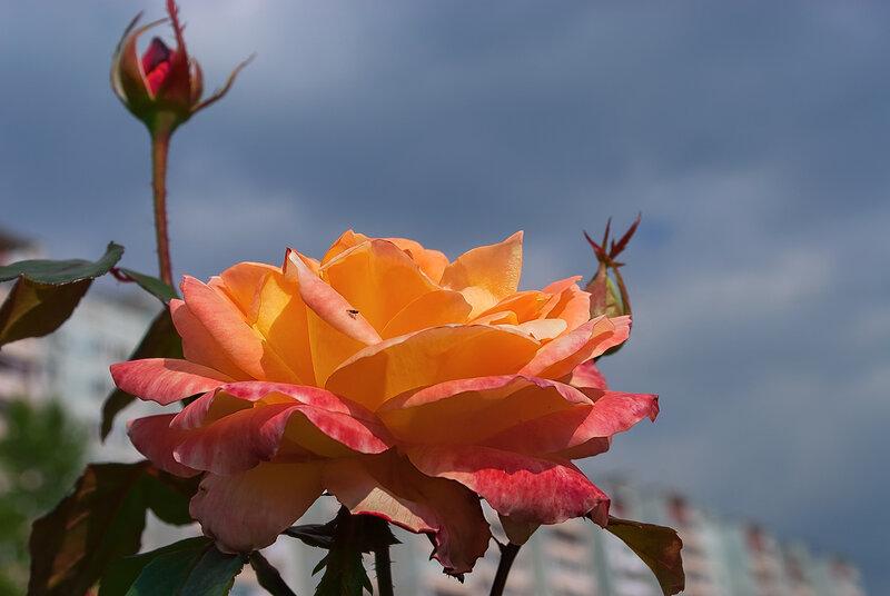 О роза! Ты прекрасна!Ты свет зари и солнца ясного.