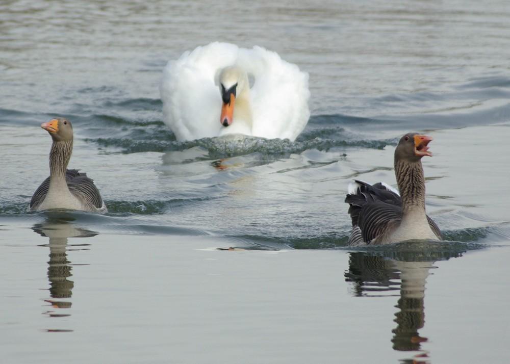 20. Лебедь гоняется за утками.