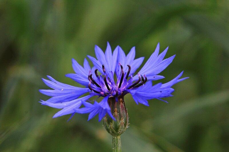 Цветёт василёк синий (лат. Centaurea cyanus)