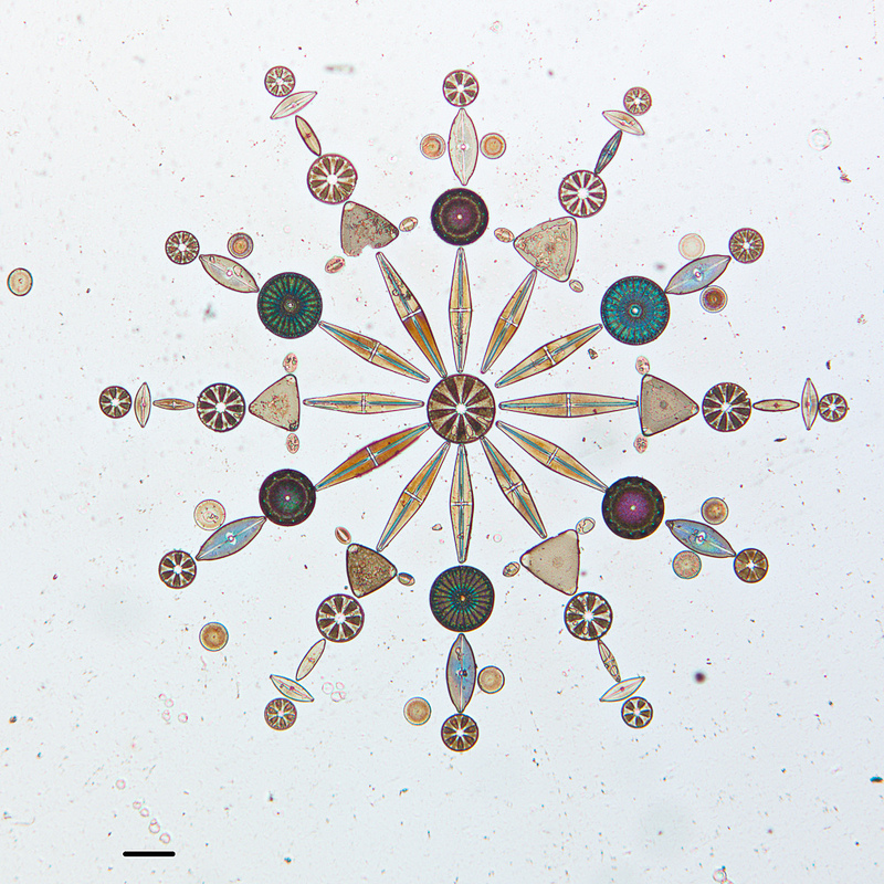 Photograph of diatoms arranged on a microscope slide by W.M. Grant.