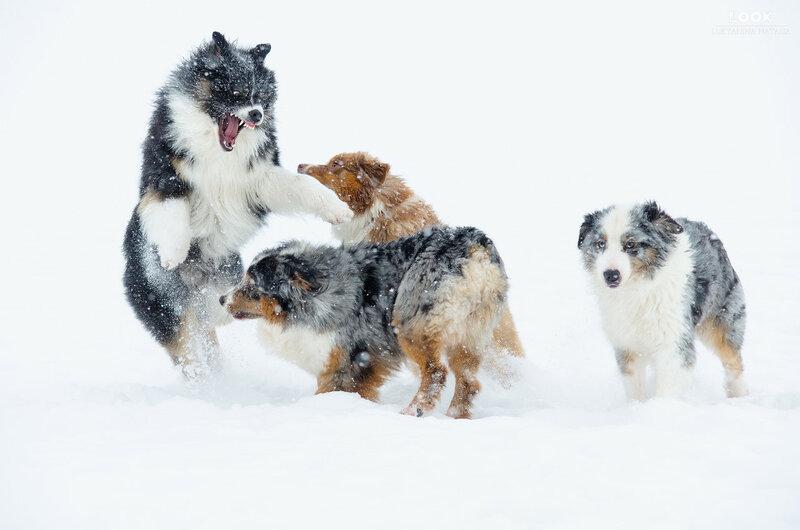 Мои собаки: Зена и Шива и их друзья весты - Страница 6 0_a76ee_b06f7d0f_XL