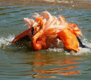 А фламинго так хорош,краше птицы не найдешь