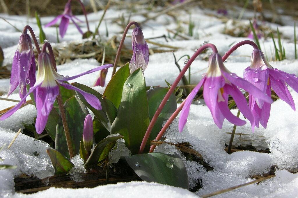 Кандык - первый цветок Семинского перевала