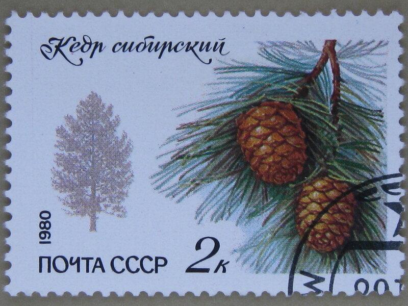 Кедр сибирский (Pinus sibirica).