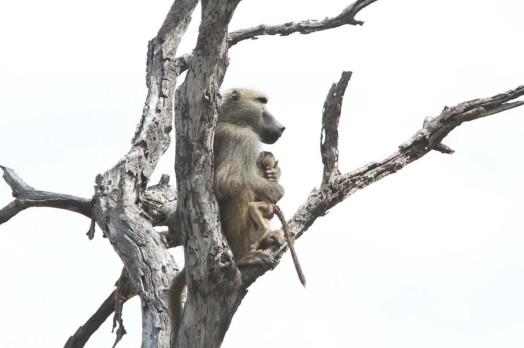 Львица оставила в живых детеныша бабуина %name