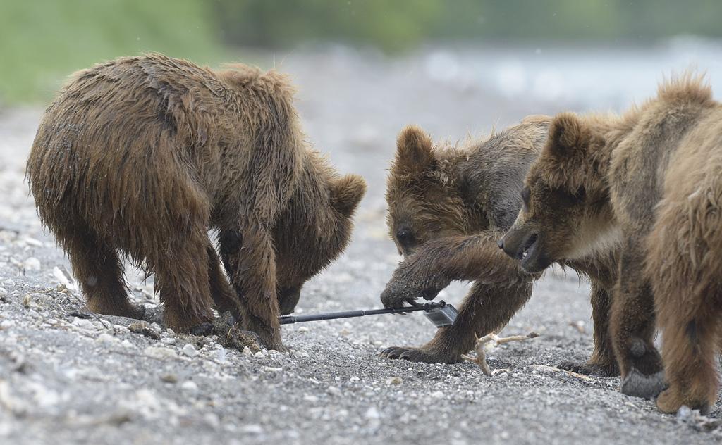 «Если люди пытаются отнять игрушку, медвежата бегут под защиту матери. Теперь камеру не забрать