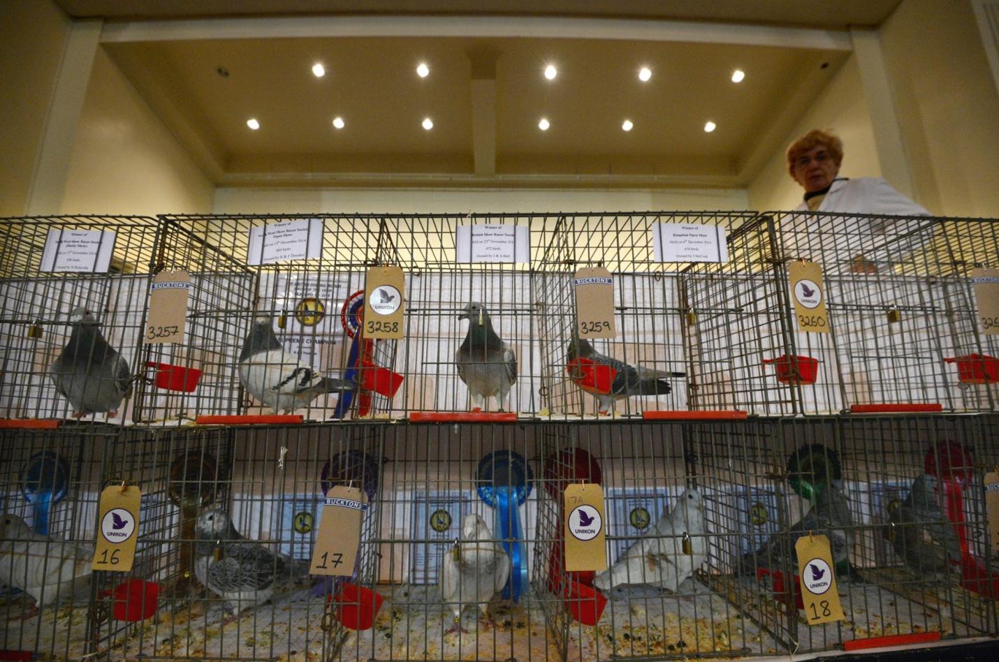 Ежегодное шоу почтовых голубей в Блэкпуле