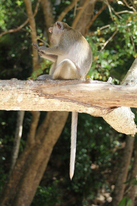 Длиннохвостый макак (яванский, макак-крабоед, Macaca fascicularis) со свисающим с дерева хвостом